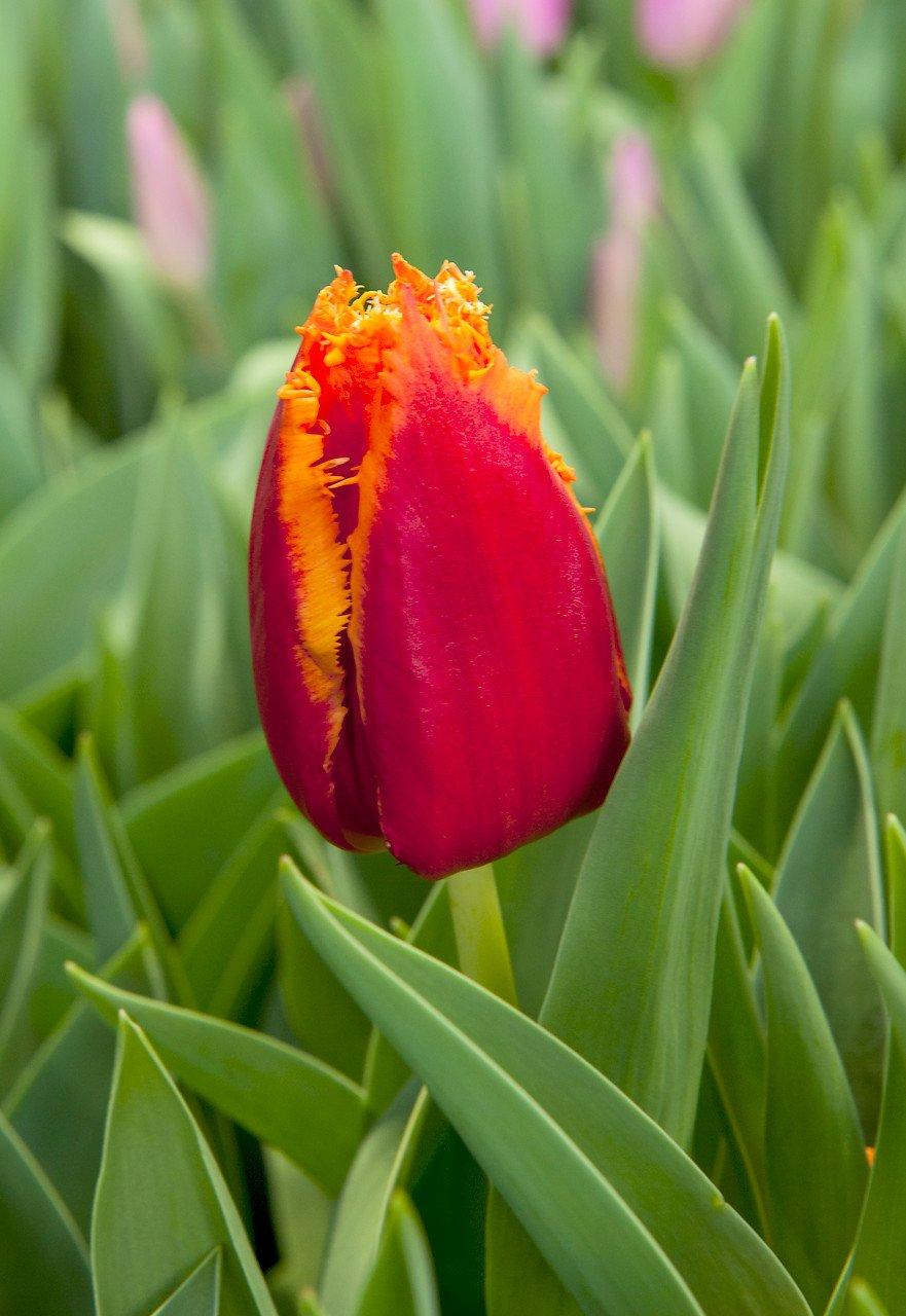 Tulipa 'Fabio'