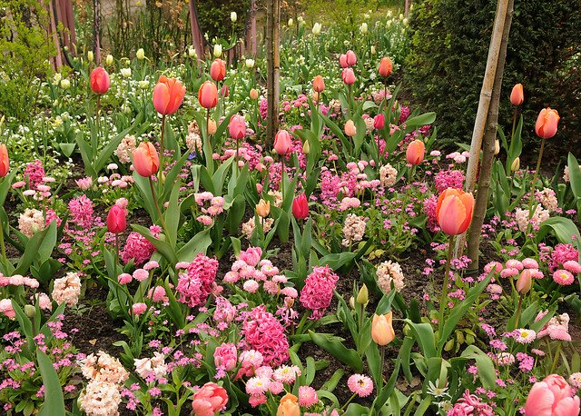 miljø tulipan og hyacint