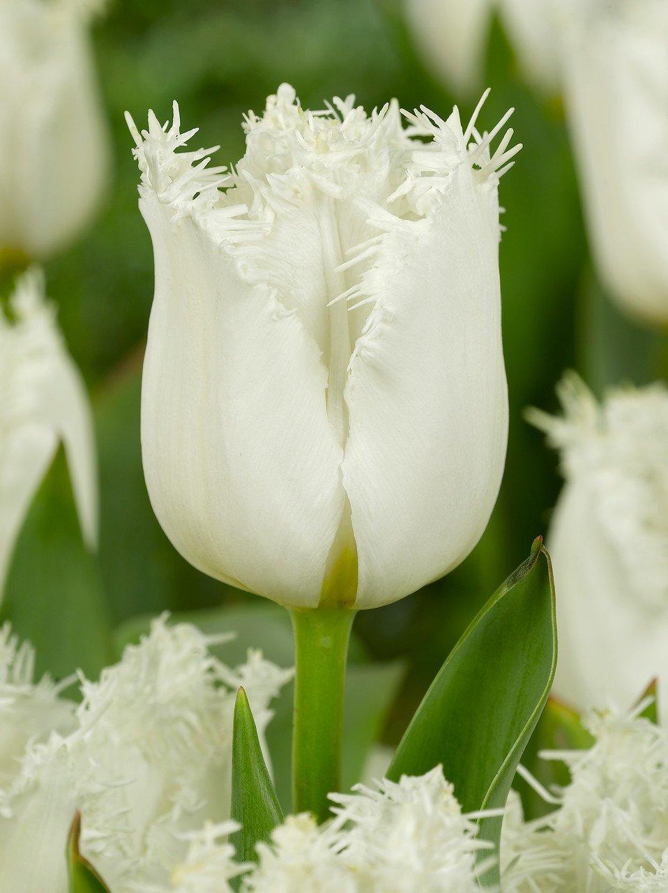 Tulipa 'North Pole'