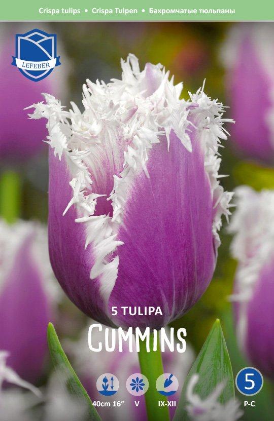 Tulipa 'Cummins'