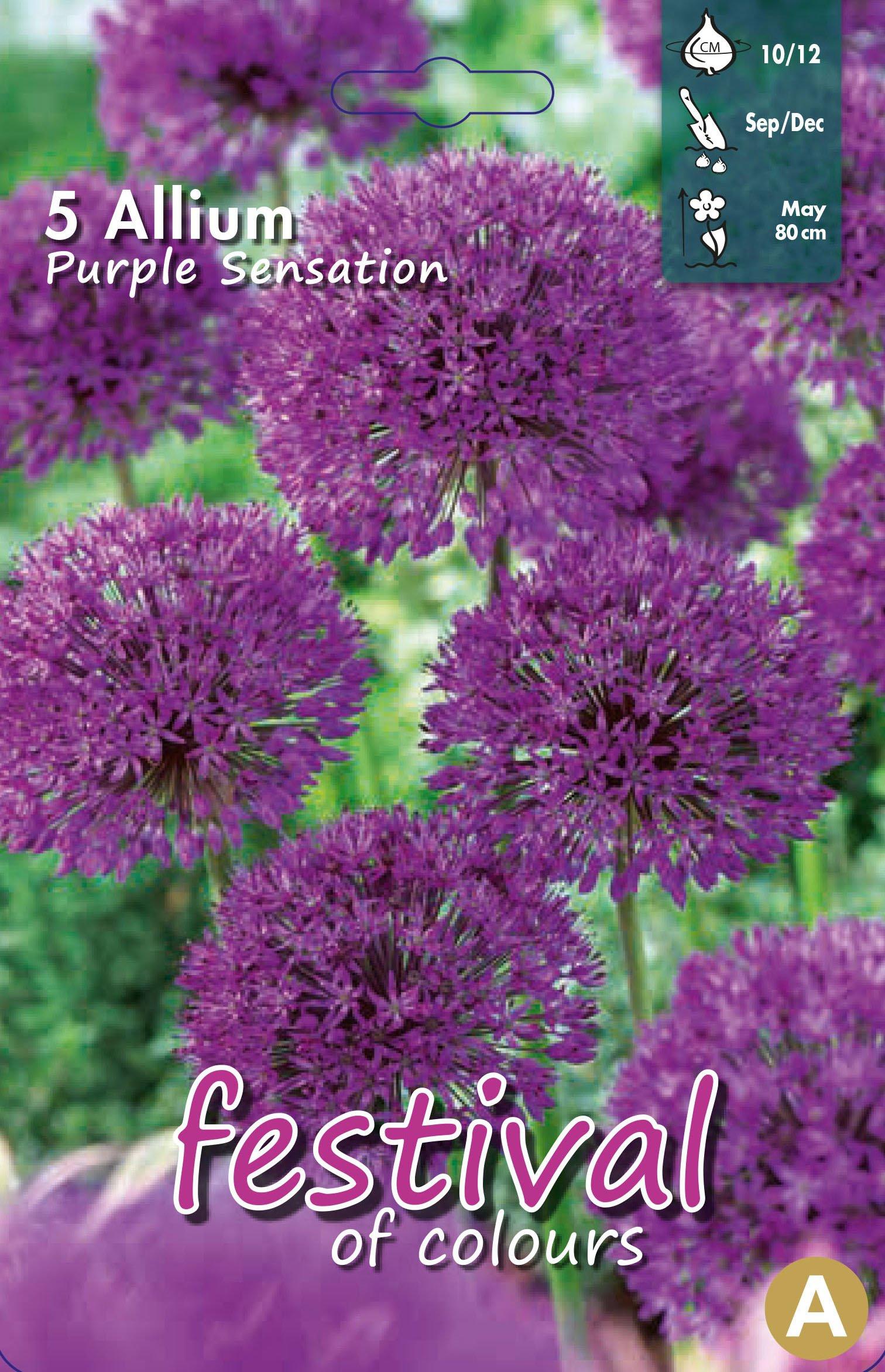 Allium Purple Sensation 5 stk