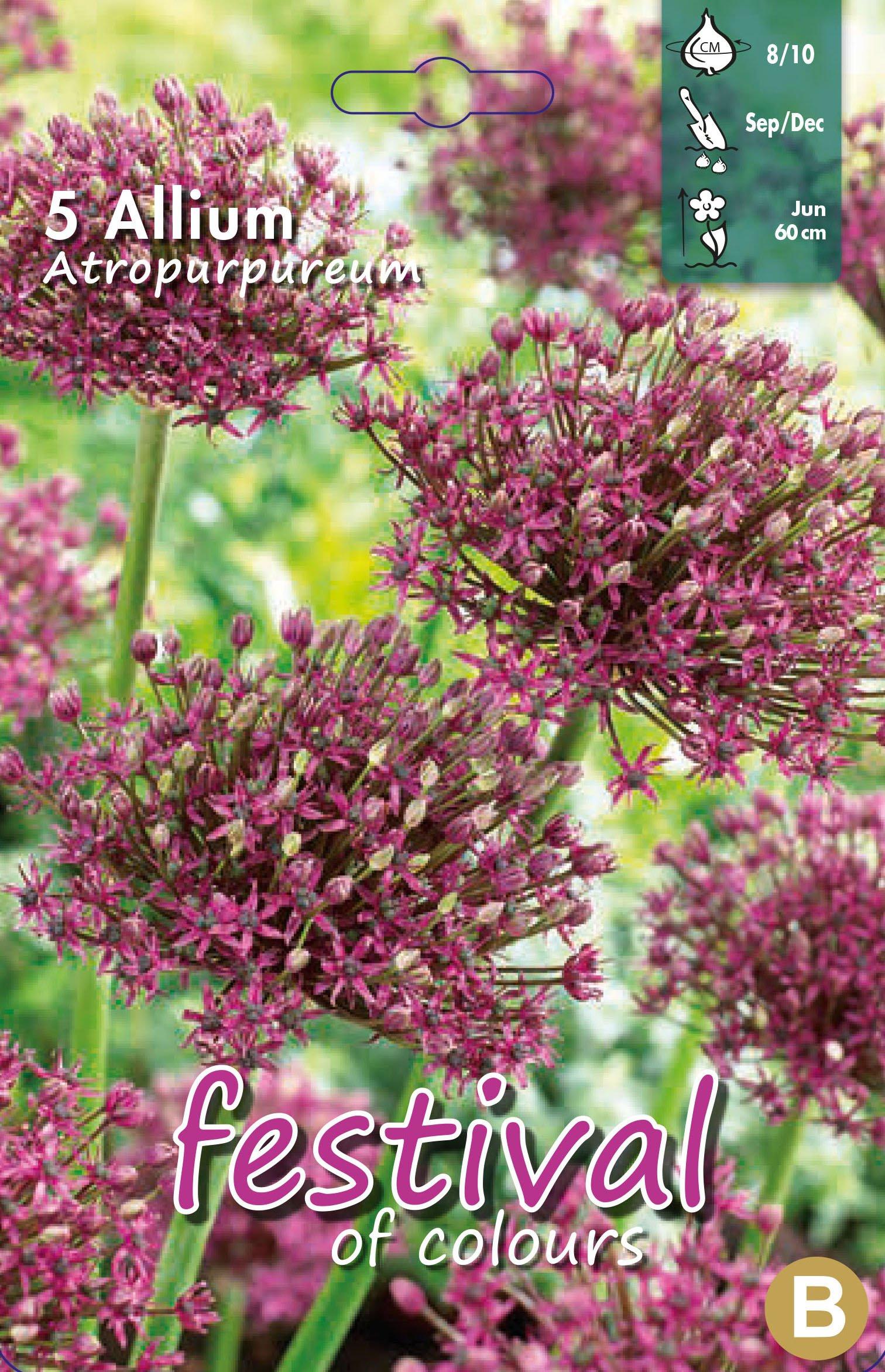 Allium Atropurpureum 5 stk