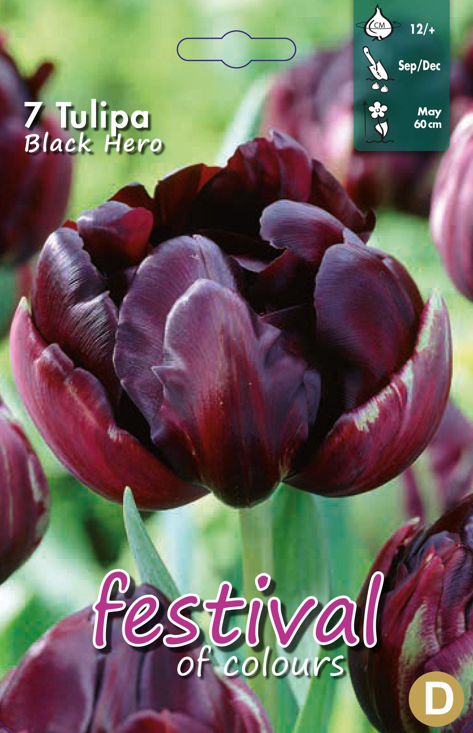 Tulipa Black Hero 7 stk
