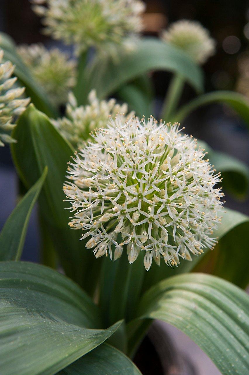 Allium 'Karataviense Ivory Queen'