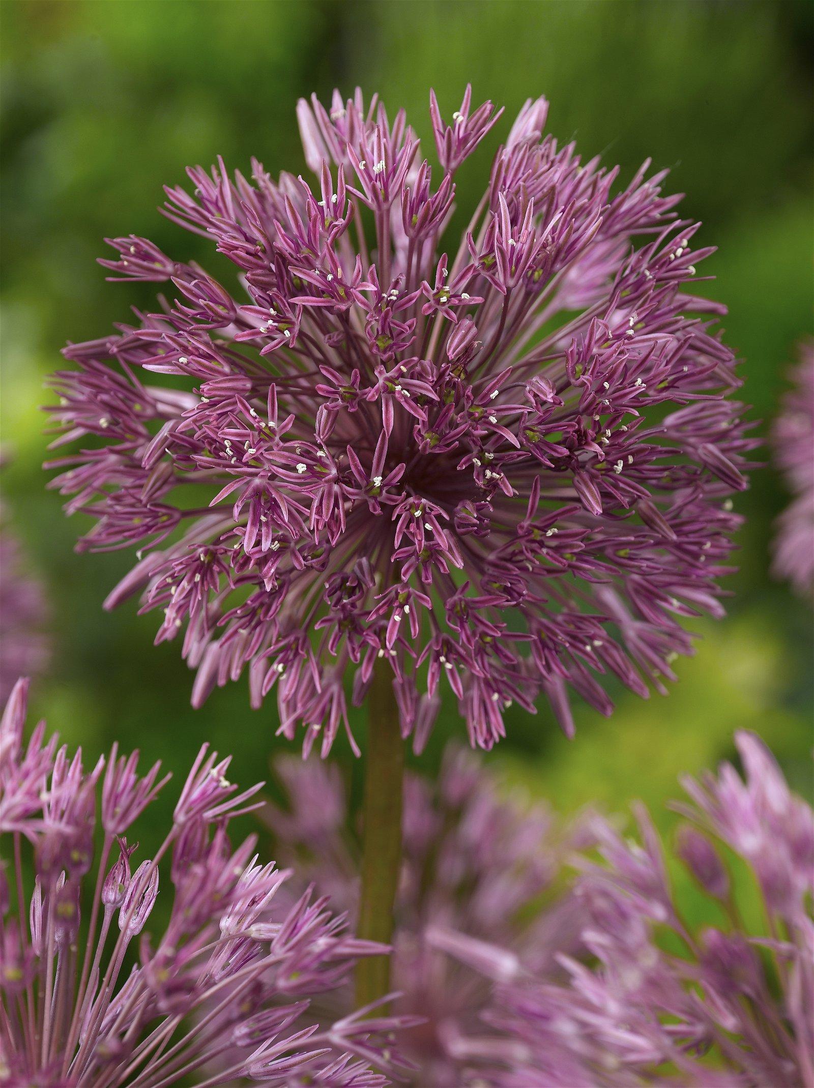 Allium 'Nevskianum'
