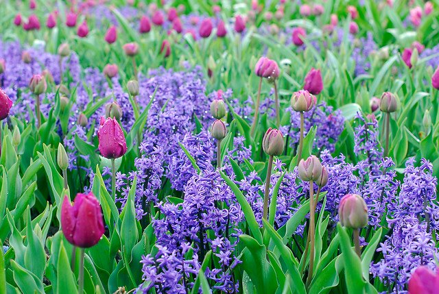 miljø hyacint og tulipan