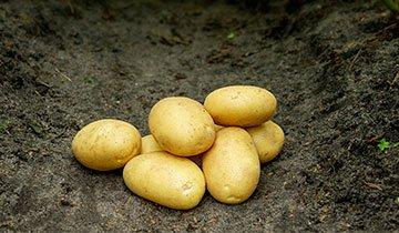 Kartoffel, Sava - 1,5 kg