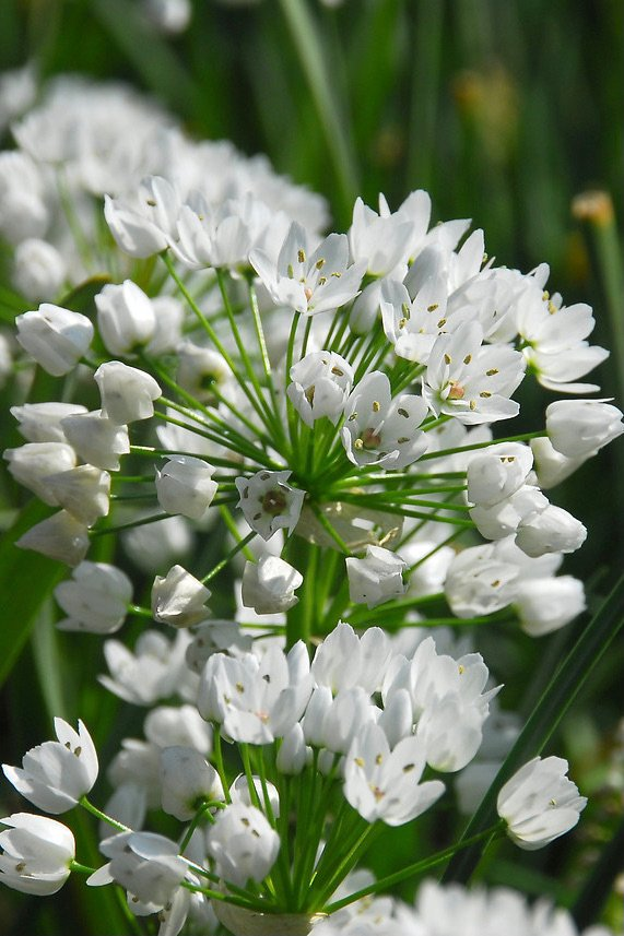 Allium 'Neapolitanum'