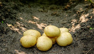 Kartoffel, Solist - 1,5 kg