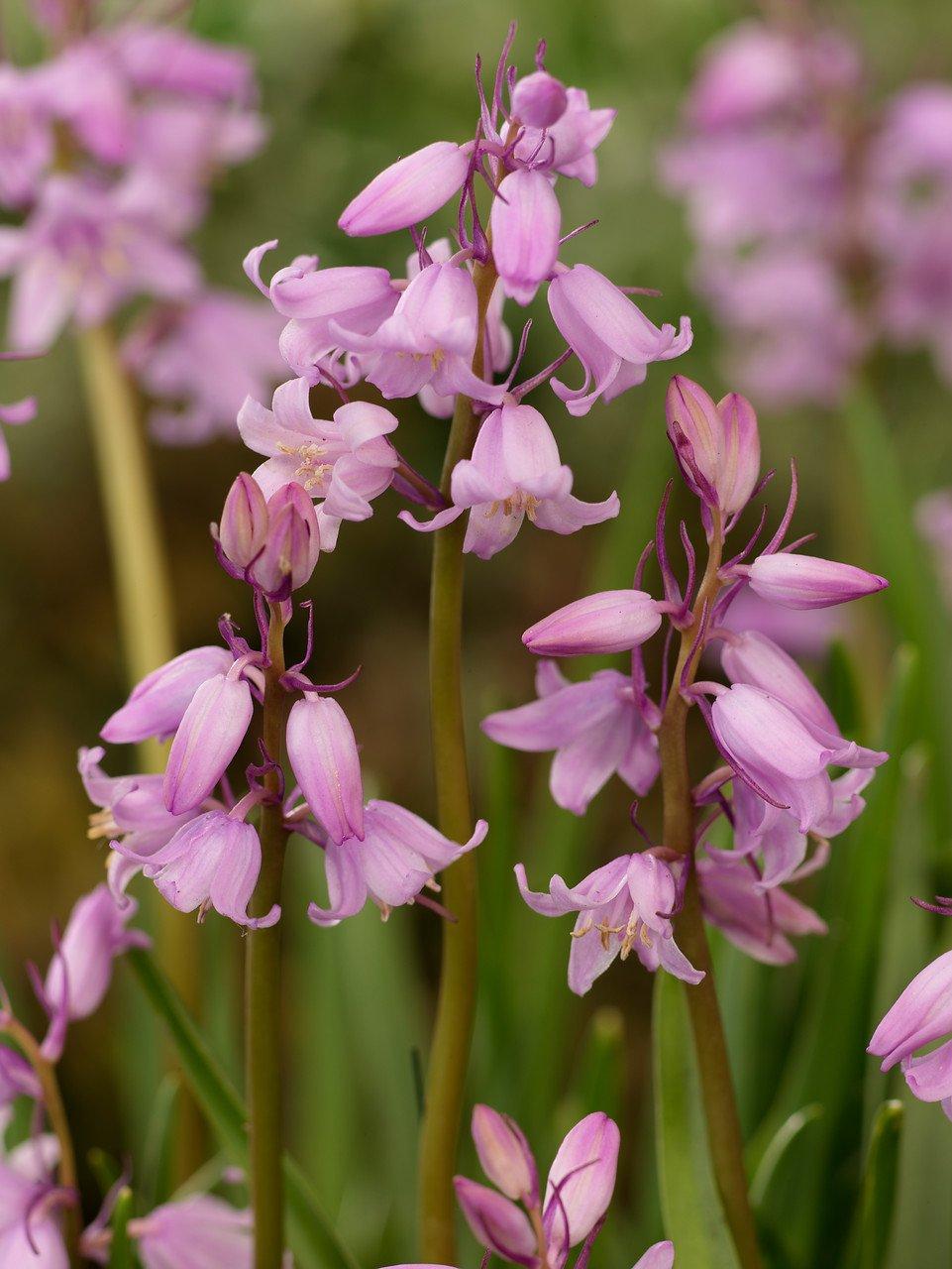 Hyacinthoides hispanica 'Rose Queen'