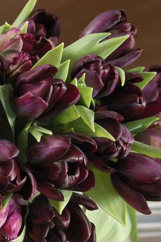 Tulipa 'Black Jack'