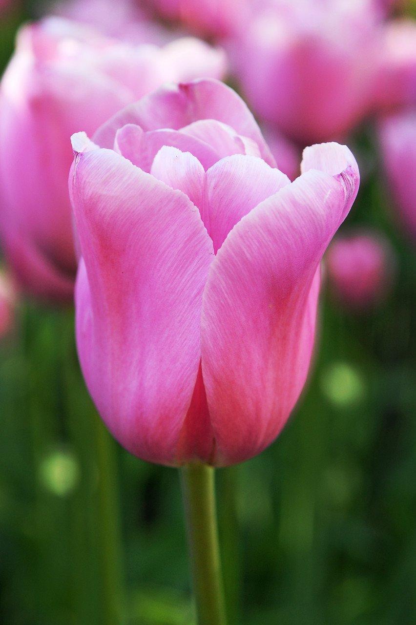 Tulipa Mistress