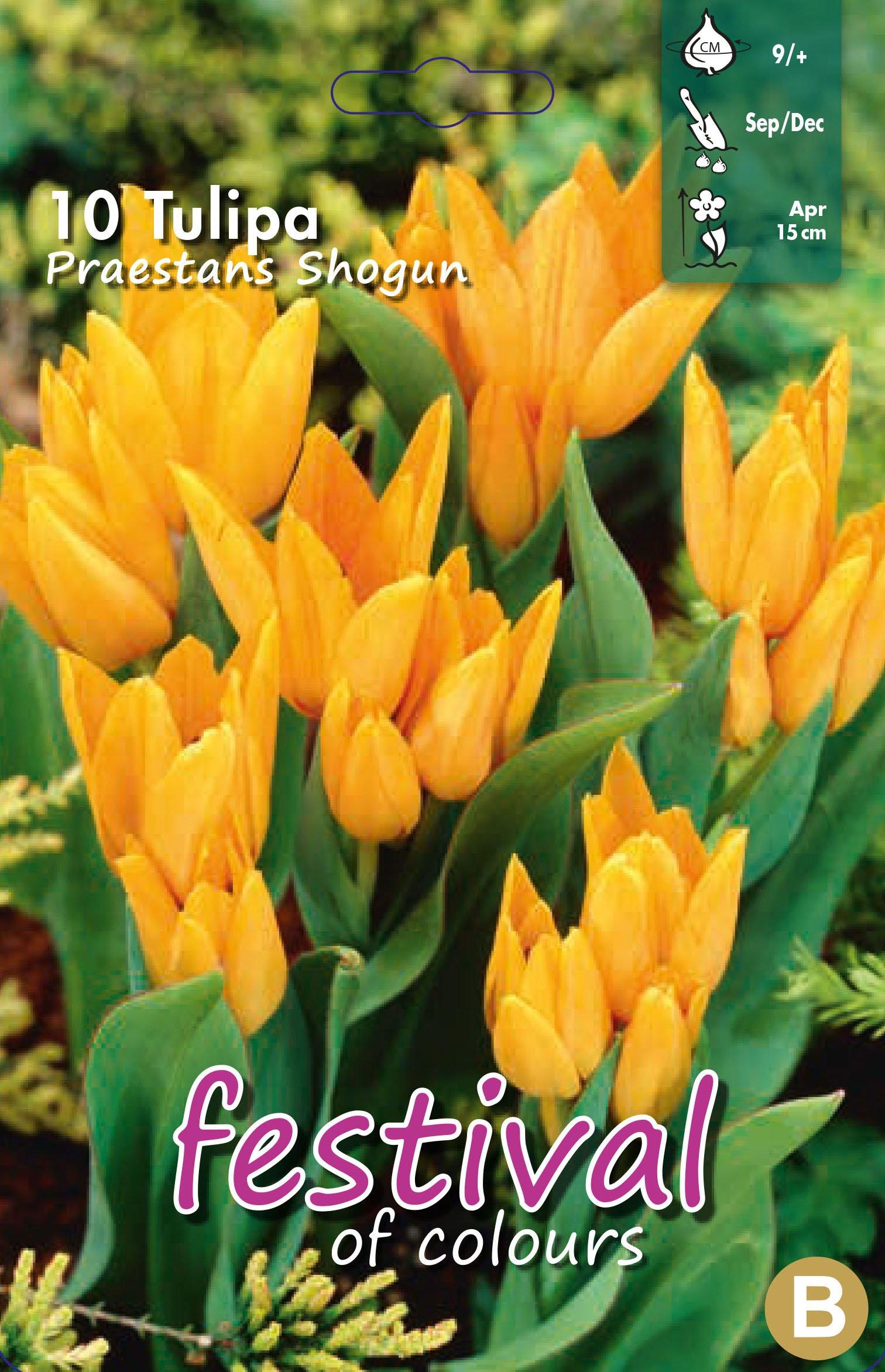 Tulipa Praestans Shogun 10 stk