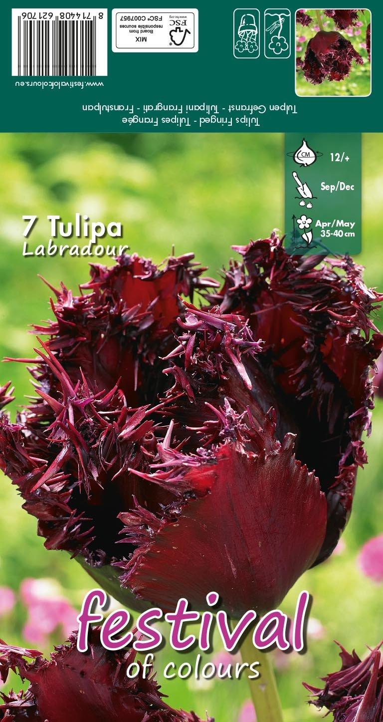 Tulipa Labradour 7 stk