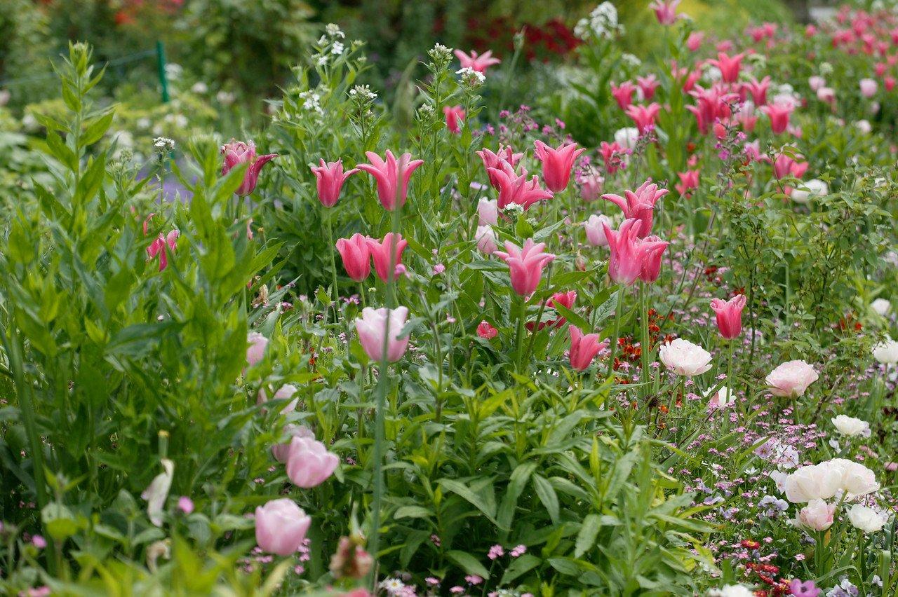 dobbelt sen tulipan