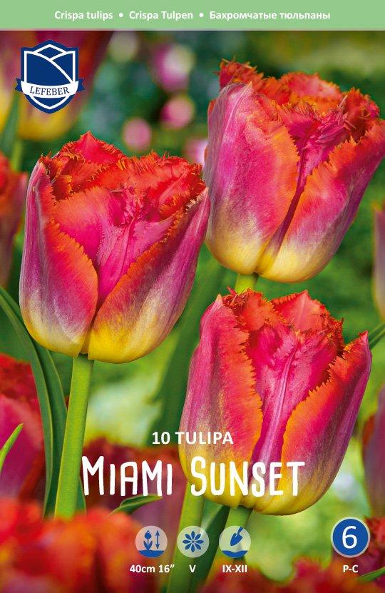 Tulipa 'Miami Sunset'