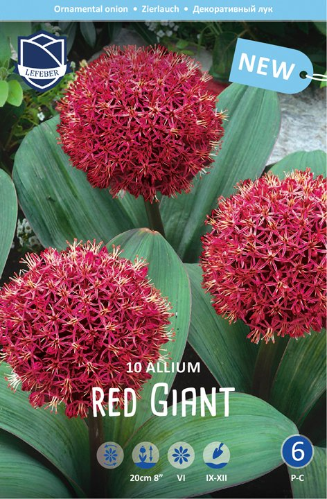 Allium Red Giant