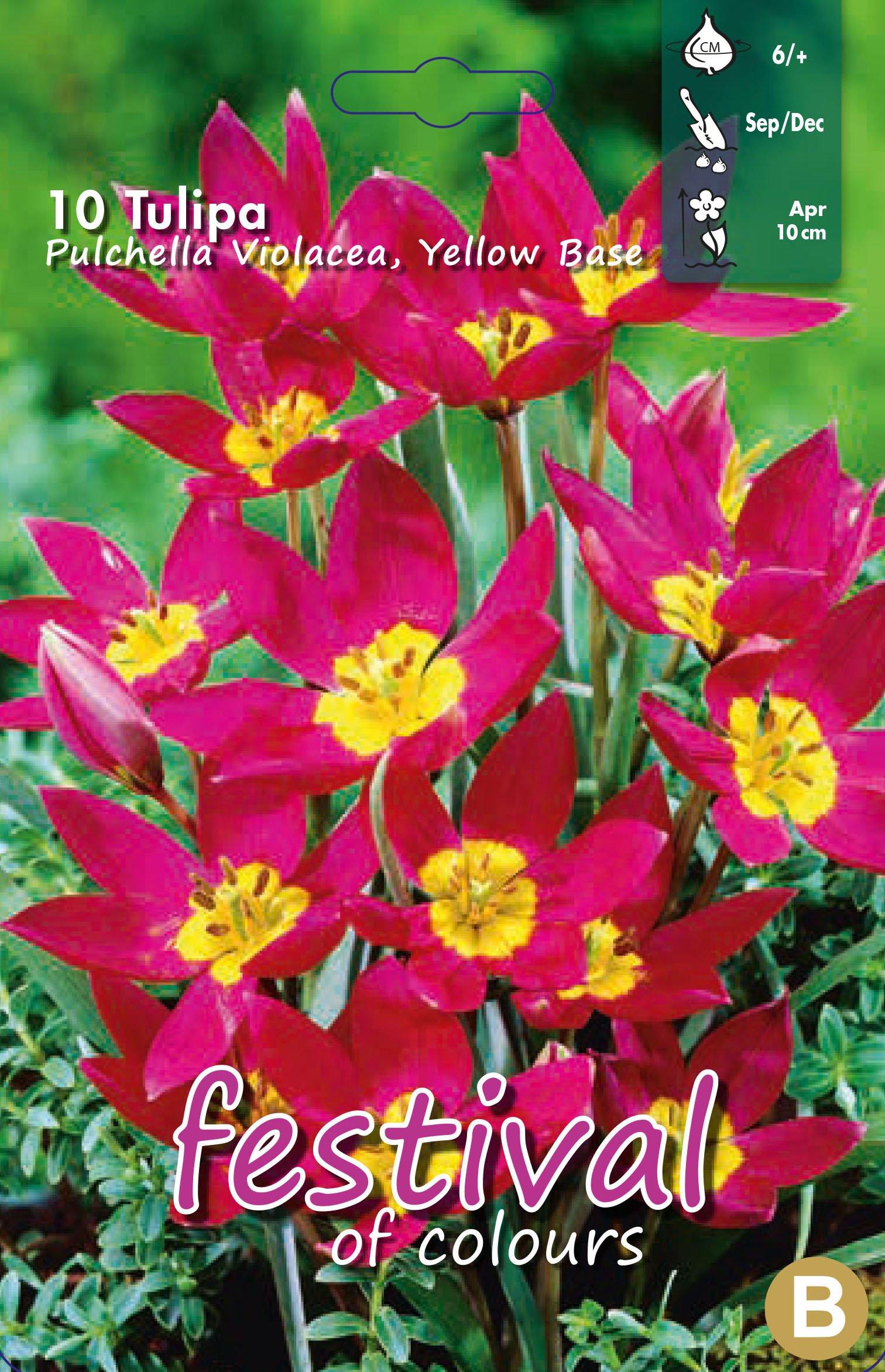 Tulipa Pulchella Violacea, Yellow Base 10 stk