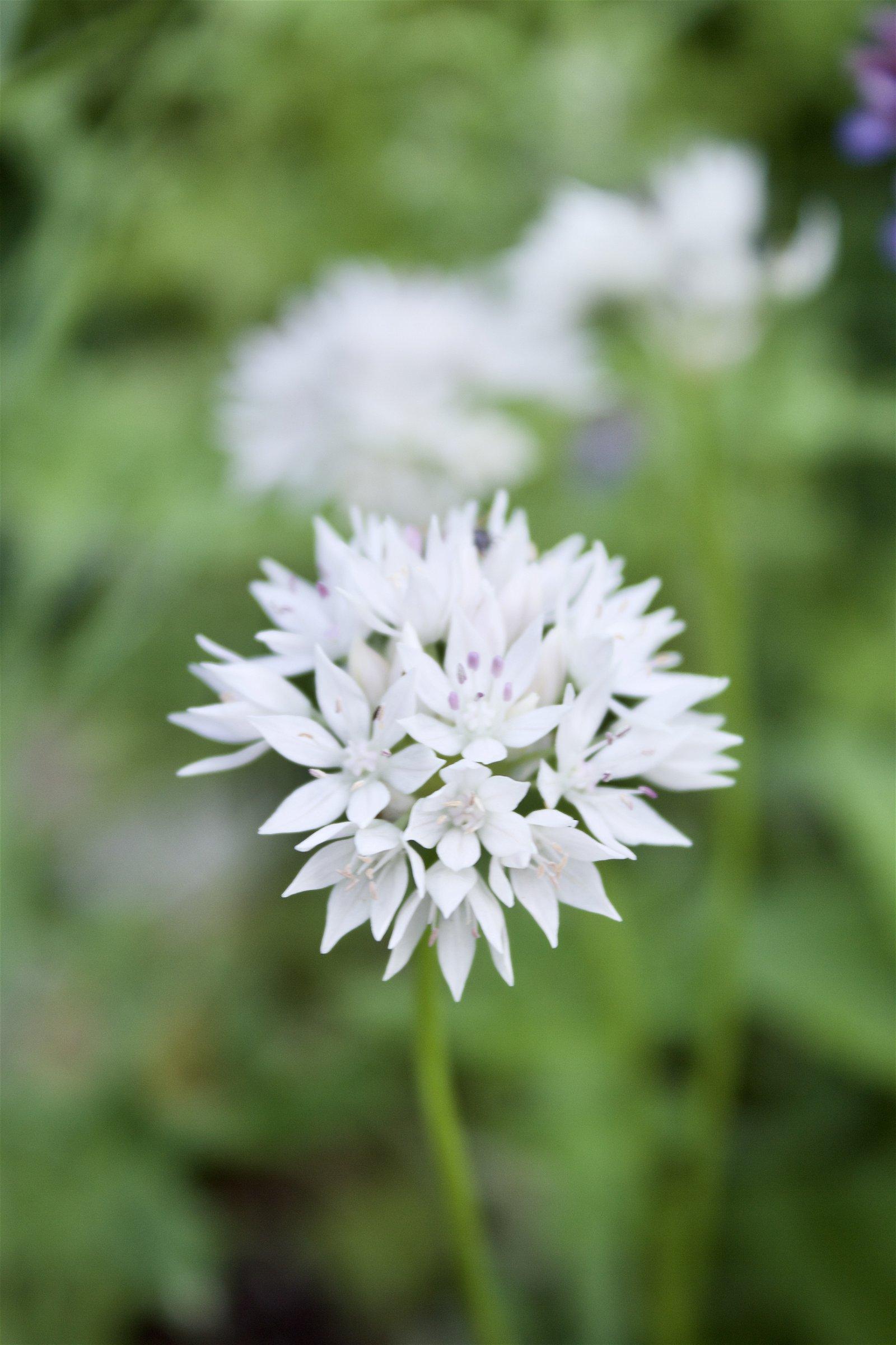Allium 'Amplectens Gracefull'
