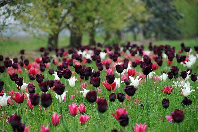 miljø enkle sene tulipaner quenn of night