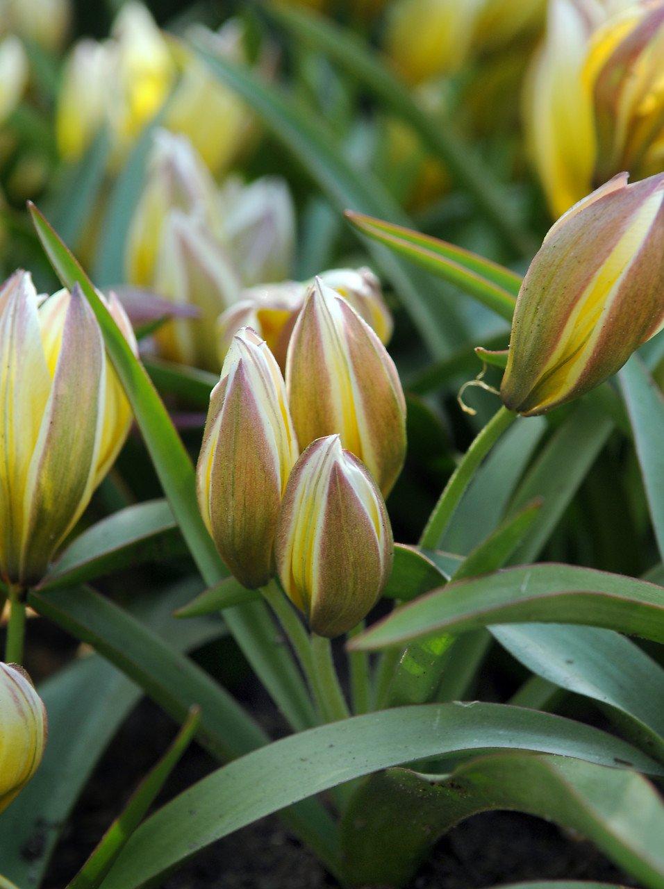 Tulipa dasystemon 'Tarda'