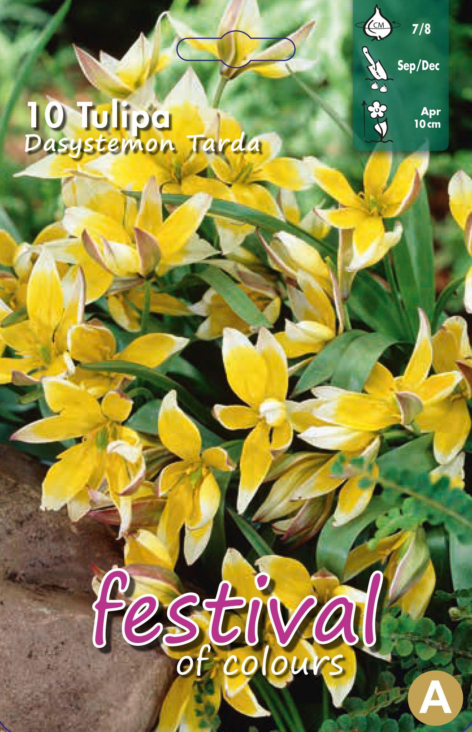 Tulipa Dasystemon Tarda 10 stk