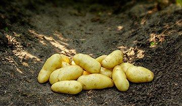 Kartoffel, Asparges - 1,5 kg