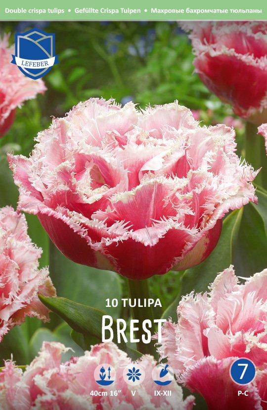 Tulipa 'Brest'